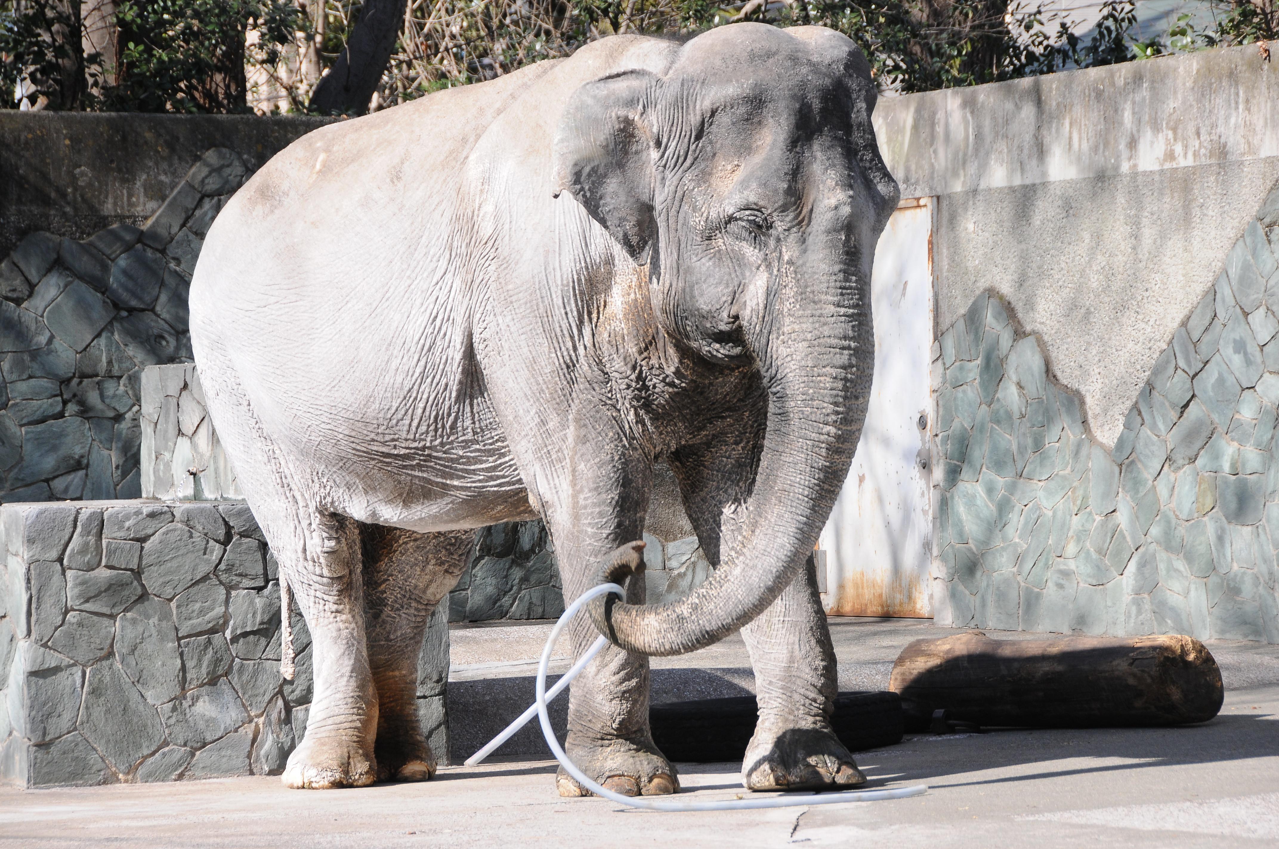 Hanako ,the oldest asian elephant at Inokashira zoo ,6 February 2015. Satoko Kawasaki.