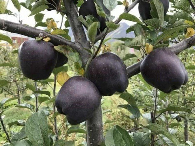 Čierne jablká na strome