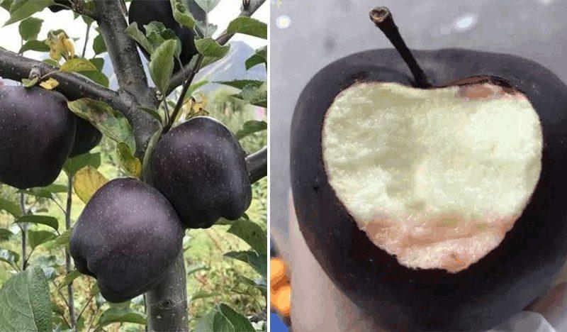 Čierne jablko. Sladké šťavnaté a celé čierne