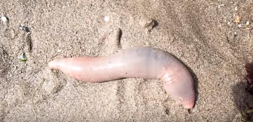 Zvláštny živočích pripominajúci penis