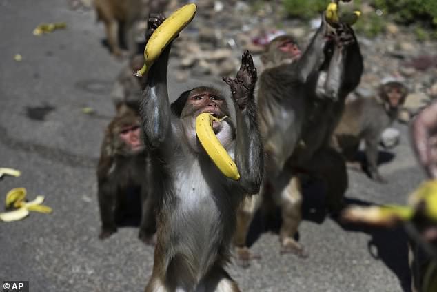 Opice v Indii boli zachytené pri jedení ovocia